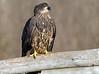Juvenile Bald Eagle 2 12-2013