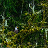 Skagit River Bald Eagle 5 12-2014