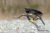 Juvenile Bald Eagle 3 12-2013