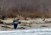 Skagit River Heron 8 12-2014