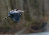 Skagit River Heron 2 12-2014
