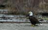 Skagit Bald Eagle 2 12-2014
