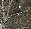 Bald Eagle 2 12-2013