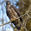 Juvenile Bald Eagle 4 12-2013