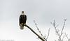 Skagit Bald Eagle 4 12-2014