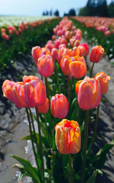 Skagit-Valley-Tulips-05-2011-2