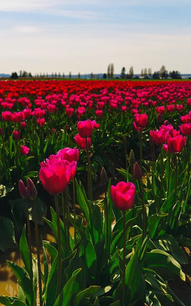 Skagit-Valley-Tulips-05-2011