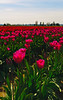 Skagit-Valley-Tulips-05-2011