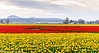 Skagit Valley Tulips 04-2012