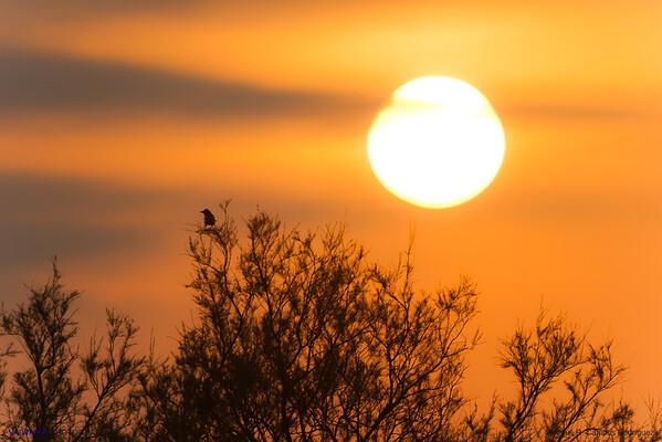 Magpie welcoming the morning. Tas Tablas de Daimiel, Ciudad Real. Spain.