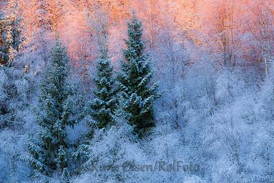 Morgenglød i vinterskogen