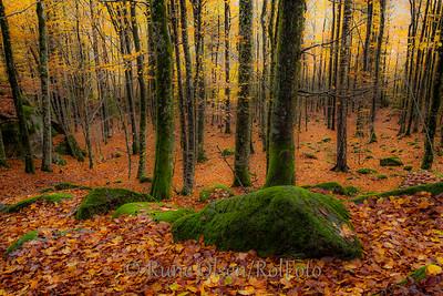 Oktoberkledd bøkeskog