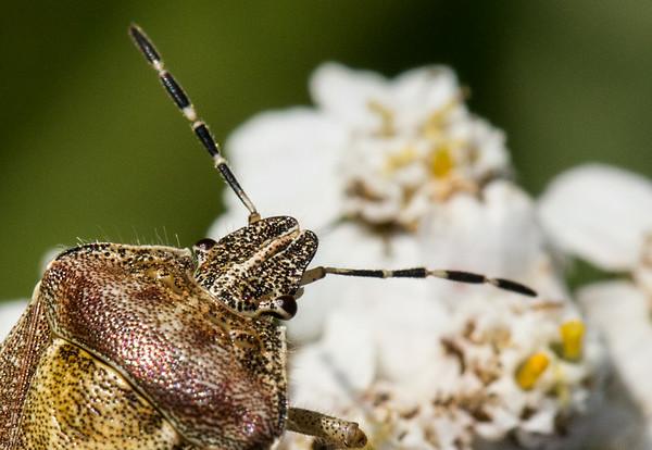 Hoved af insekt