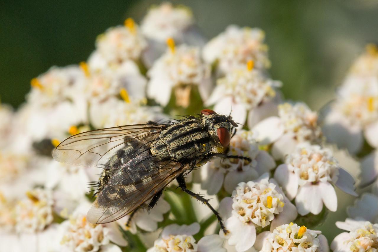 Stribet flue