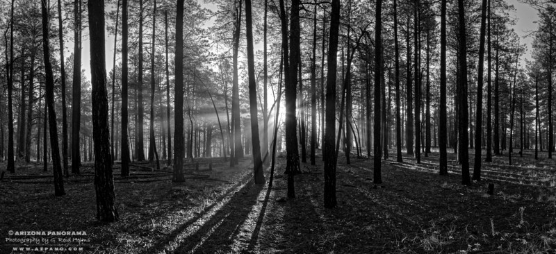 Forest Rays
