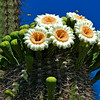 Saguaro blossoms and bees
