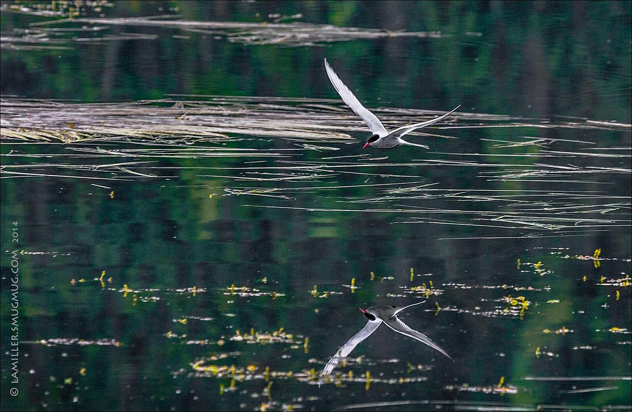 Arctic Tern Fishing