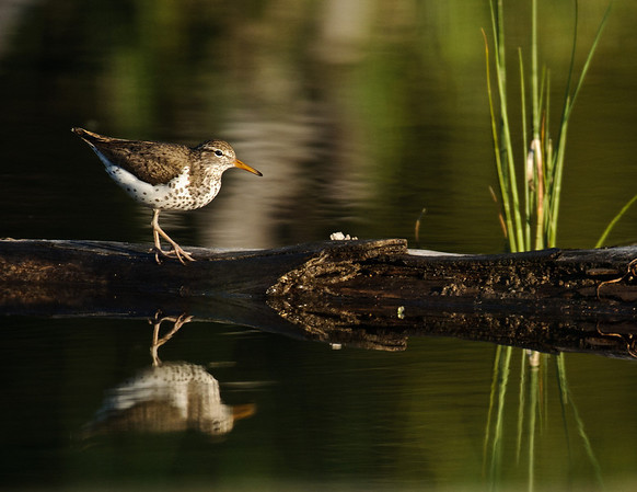 Spotted Sandpiper, Payette Lake, McCall, Idaho