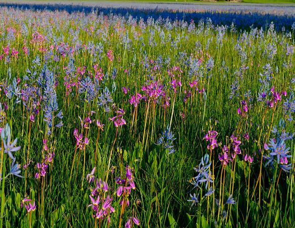 Camas and Shooting Stars bloom in the marsh at Squaw Flats, Idaho