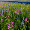 Camas and Shooting Stars bloom in the marsh at Squaw Flats, Idaho