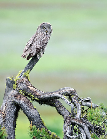 Great Gray Owl, McCall, ID<br /> (For custom canvas print: contact me)