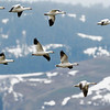 Snow Geese Fly in Council Valley