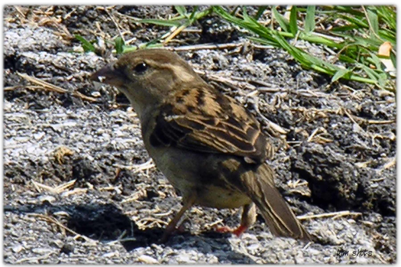 Sparrow caught with new teleconverter lens