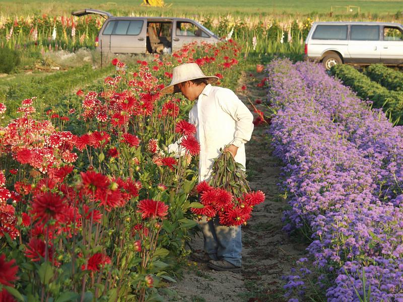 Hmong flower grower