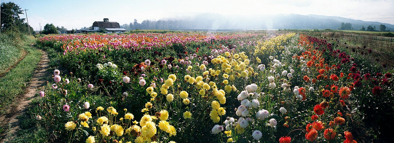 Flower fields at dawn
