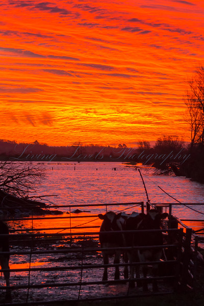Sunrise over the flooded Somerset levels at Glastonbury with cows trapped in their enclosure by the waters.
