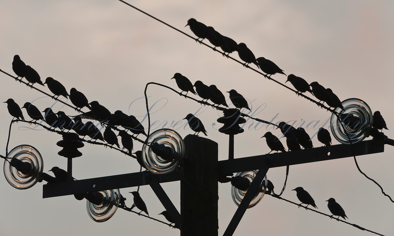 Pre=roost gathering of starlings on power lines at Meare, near Glastonbury.  Taken with the sun low in the sky.