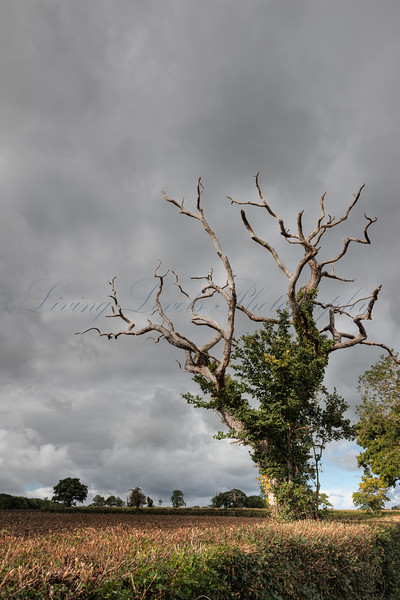 Lonely old oak tree at Shapwick