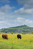 Cows grazing in  water meadows yellow with buttercups and kingcups in the Brue Valley with Glastonbury Tor in the background.