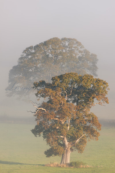 Oak trees in the early morning mist in a field near Glastonbury
