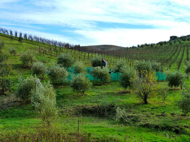 "November Olive harvest at Ridgeway Winery.    <a href=""http://www.ridgewayfamilyvineyards.com/"">http://www.ridgewayfamilyvineyards.com/</a>"