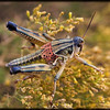 IS this a Grasshopper?  <br /> <br /> A grasshopper with beautiful clothes.....   Cute little vest you have there...