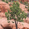 Sedona the land of Magic, where trees grow from the rock.