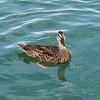 Lake Pleasant Resident Swimmer