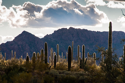 Sonoran Desert at the New Year - Organ Pipe