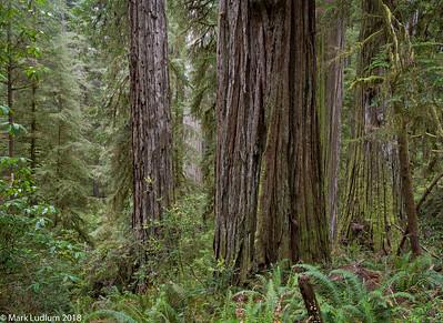 Stout Grove Redwoods CA
