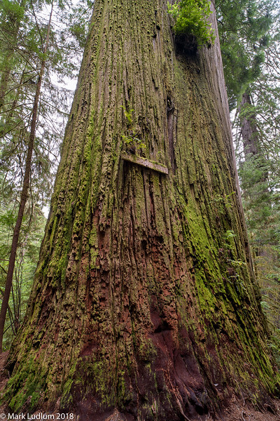 Stout Grove The Boy Scout Tree 05-2018