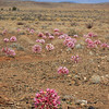 Flowers, in the Tankwa Karoo National Park