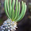 Karoo flower, at Langkloof Campsite. Tankwa Karoo National Park.
