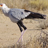 Secretary Bird in the Kalahari Desert