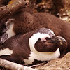 Fluffy young penguins