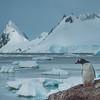 Solo Penguin On Rock Observing The Landscape
