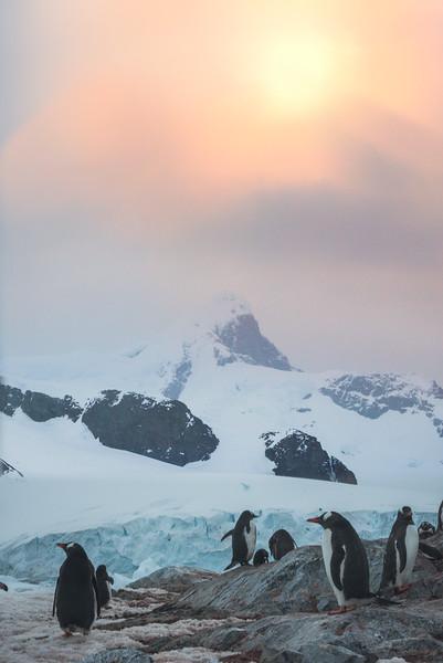 A Gathering Under The Midnight Sun -  Cuverville Island, Antarctica