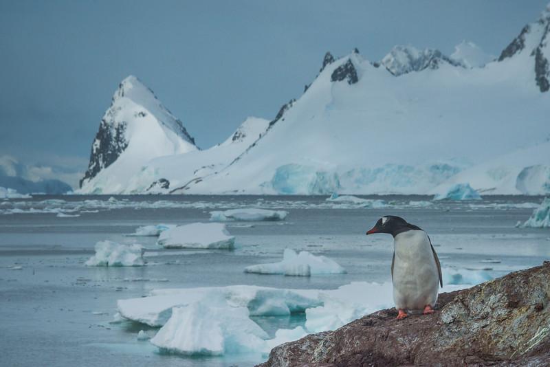 Solo Penguin On Rock Observing The Landscape -  Cuverville Island, Antarctica