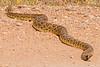 Prairie Rattle Snake