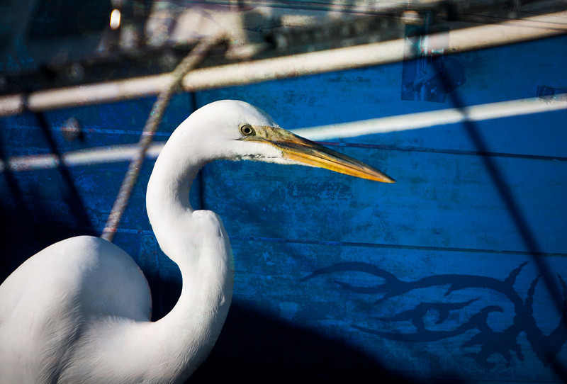 White Egret on the dock in St. Augustine, Florida.